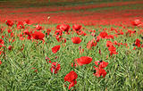 poppy flower field tring hertfordshire