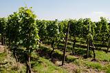 vinyard_4(23).jpg