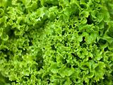 Batavia Lettuce