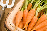 Carrots In A Wooden Trug