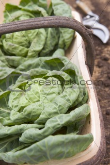 Cabbages In Wooden Trug