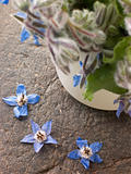 Borage, Herb