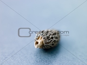 Single Morel Mushrooms