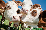 Close up of cows