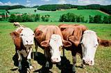 Three curious simmental cows