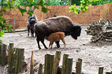 bison calf drinking milk