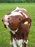 curious frisian calf