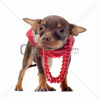 sad chihuahua with pearl collar