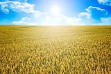 wheat summer sun