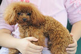 Holding toy poodle dog in arms