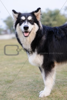 Alaskan Malamute dog standing on lawn