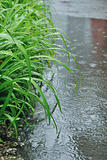 The green leaves of lily under the fine rain