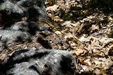Rattlesnake Camouflaged