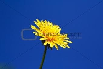 Foto of dandelion head on blue sky