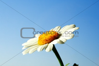 Foto of chamomile head on blue sky