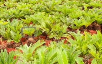Baby palms