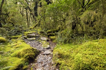 Mossy Beech Forest - Milford Track
