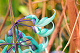 jade vine (Strongylodon macrobotrys)