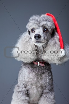 gray poodle with  red christmas cap