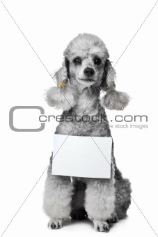 gray poodle dog with tablet for text on isolated white