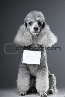 gray poodle dog with tablet for text on grey