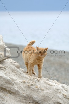 big cat stands on the cliff