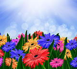 Colorful daisy gerbera flowers in a field - spring background