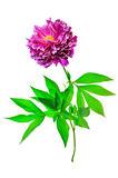 Peony single flower (centre)