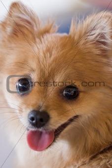 Portrait of cute orange dog, focus on eyes