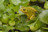 A green frog