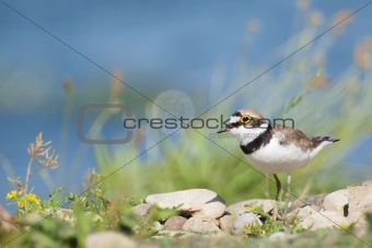 Little Ringed Plover with beautiful background, Charadrius dubius