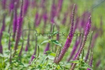 Lavender field with focus on one foreground stem