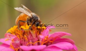 worker bee with pollen from zinnia flower