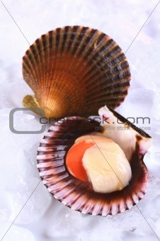 Raw Queen Scallop with a Colorful Scallop Shell on Ice