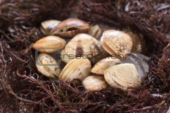 Small Clams on Ice Surrounded by Seaweed