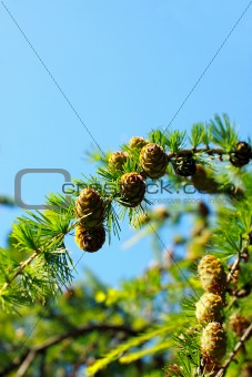 fragment of larch branch over the sky