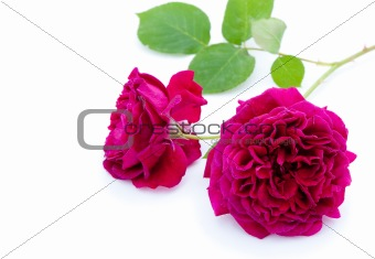 Single purple rose with green leaves on white