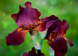 brown bearded iris