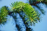 Pine-tree needles