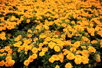 Autumn marigolds
