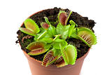 Venus flytrap in a pot