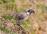 Woodpigeon ( Columba oenas )