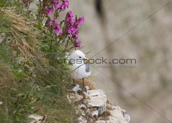 Kittiwake ( Rissa tridactyla )