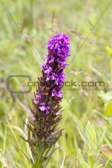Fragrant Orchid ( Gymnadenia conopsea )