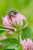 5-spot Burnet Caterpillar