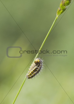 5-spot Burnet Caterpillar