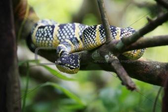 Green viper looking
