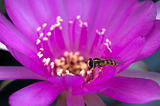 Hover fly on a cactus flower