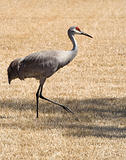 Sand Hill Cranes on a Golf Course in Florida