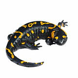 Fire Salamander, Salamandra maculosa, Salamandra salamandra isolated on white background